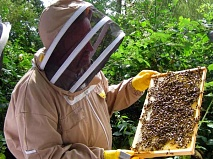 """Where is she?"" . . . Steve Leveridge, education officer of the Barnet District Beekeepers Association, looking for the queen in a 50,000-strong bee hive at the Association's High Barnet apiary"