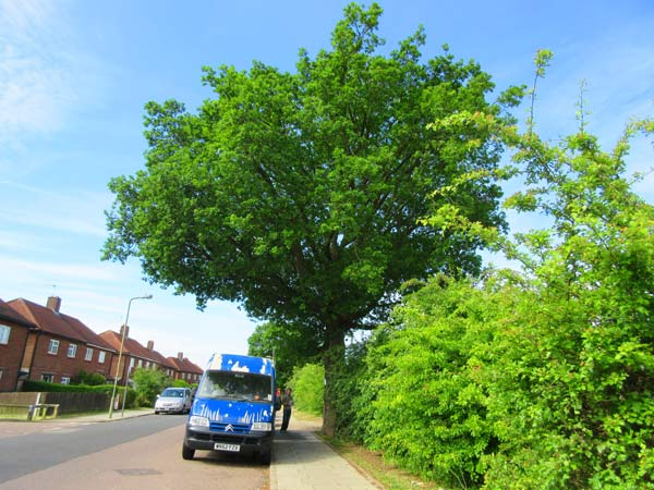 The Whitings Road oak