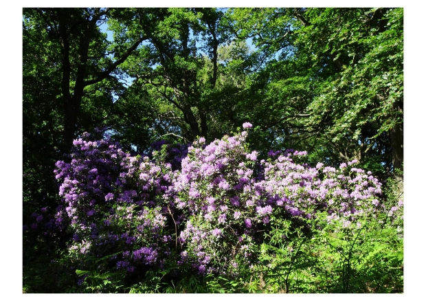Barnet's hidden rhododendron spectacle